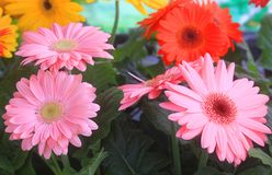 Gerbera flowers in the garden. Some gerbera flowers with different colors in the garden Stock Photography