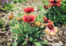 Gerbera flowers in the garden Royalty Free Stock Image