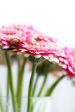 Gerbera Flowers in a Glass Vase Royalty Free Stock Photo