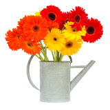 Gerbera flowers in gray watering can Royalty Free Stock Photos