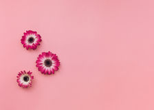 Gerbera flowers head on pastel tone background. Three fresh gerbera flowers head on pastel tone background. Top view, blank space Royalty Free Stock Photos