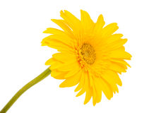 Gerbera flowers isolated Stock Photography