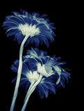 Gerbera flowers isolated on black background Royalty Free Stock Image