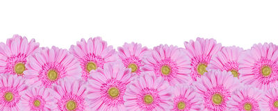 Gerbera Flowers Isolated, Floral Border Royalty Free Stock Photos