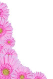 Gerbera Flowers Isolated, Floral Border Stock Images