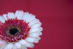 Gerbera flowers. Isolated in red background royalty free stock photos