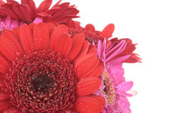 Gerbera flowers isolated on white Royalty Free Stock Image