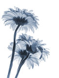 Gerbera flowers isolated on white background, blue toned Stock Photo