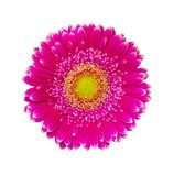 Gerbera flowers isolated on white background Royalty Free Stock Image
