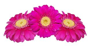 Gerbera flowers isolated on white Stock Photos