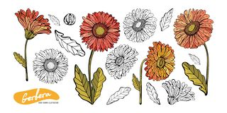 Gerbera flowers, leaves, stems, buds hand drawn in color and in black and white lines. Set of Botanical illustration in vector.