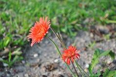 Gerbera flowers Stock Photography