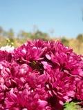 Gerbera flowers Royalty Free Stock Photo