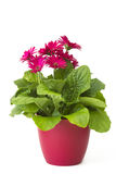 Gerbera flowers in a pot Royalty Free Stock Photography