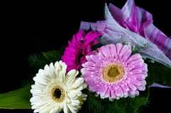 Gerbera flowers in three color isolated. stock images