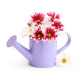 Gerbera flowers in watering can Royalty Free Stock Images