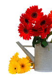 Gerbera flowers in watering can Royalty Free Stock Photography