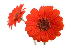 Gerbera flowers on white Stock Image
