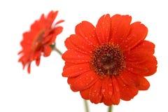 Gerbera flowers on white Stock Image
