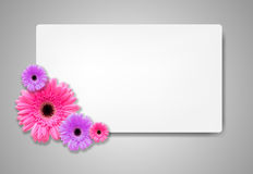 Gerbera flowers with white card template Stock Photo