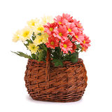 Gerbera flowers in wicker basket Royalty Free Stock Images