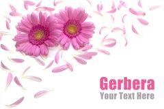 Gerbera frame Stock Images