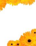 Gerbera frame. Gerbera flower frame with copyspace royalty free stock image