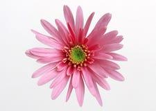 Gerbera-Gänseblümchen Stockfotos