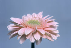 Gerbera-Gänseblümchen stockbilder