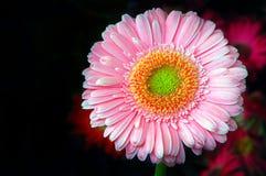 Gerbera-Gänseblümchen stockfoto