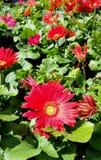 Gerbera-Gänseblümchen Lizenzfreies Stockbild