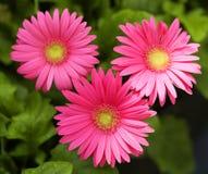 Gerbera-Gänseblümchen. Pink-Blumen stockbilder