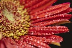 Gerbera gelbes rotes Sideview-Nahaufnahme-Makro mit Wasser-Tropfen Lizenzfreie Stockfotos