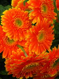 Gerbera. Is a genus of ornamental plants from the sunflower family (Asteraceae Royalty Free Stock Image