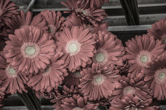 Gerbera Royalty Free Stock Image