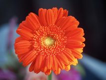 Orange Gerbera Flower and Blue Background stock photo