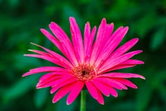 Gerbera is a genus of plants in the daisy family.Gerbera species bear a large capitulum with striking, two-lipped ray florets royalty free stock photo