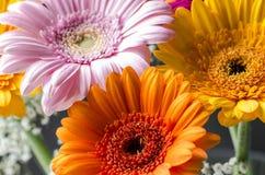 Gerbera 040. Gerbara flowers with Gypsophila backing Royalty Free Stock Photos