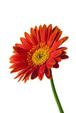 Gerbera or Gerber Daisy Isolated Stock Image