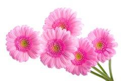 цветет gerbera Розовые gerberas и жемчуга настоящий момент стоковое изображение rf