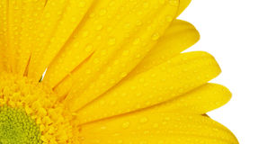Gerbera gialla su bianco fotografia stock libera da diritti