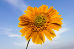 Gerbera gialla sul fondo isolato del cielo del bue Fotografie Stock