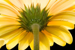 Gerbera giallo Immagini Stock Libere da Diritti