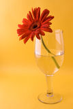 Gerbera in Glass Stock Images