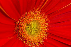 Gerbera with great detail Royalty Free Stock Photo