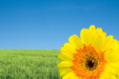 Gerbera and green field Stock Photo