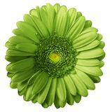 Gerbera green  flower  on white isolated background with clipping path.  no shadows. Closeup. Nature Royalty Free Stock Photos