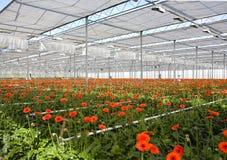 Gerbera in greenhouse stock photos