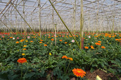 Gerbera in greenhouse. Da Lat. Vietnam Stock Photography