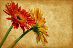 Gerbera on grunge background stock photography